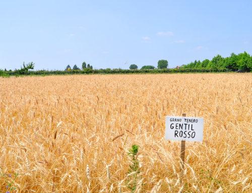 (Italiano) Gentil Rosso, un cereale antico bio per tutti